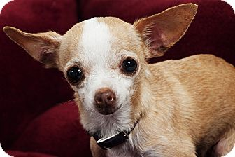 Chihuahua Dog for Sale in Studio City, California - Daisy