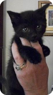 Domestic Shorthair Kitten for Sale in Sterling, Virginia - Licorice
