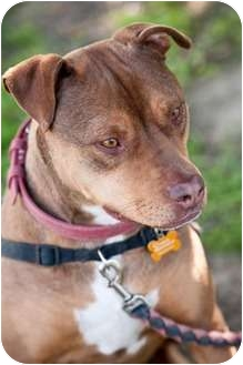 American Pit Bull Terrier Mix Dog for adption in Fresno, California - Leon