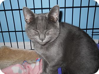 Russian Blue Kitten for Sale in Stafford, Virginia - Zazzles