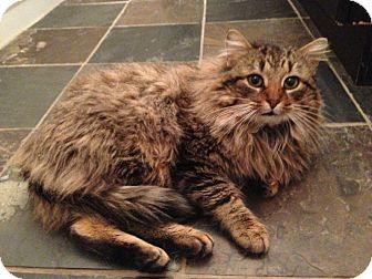 Domestic Mediumhair Cat for Sale in Emsdale (Huntsville), Ontario - Mr. Mittens - Cuddles dogs!