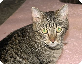 Domestic Shorthair Cat for adoption in Fairbury, Nebraska - George