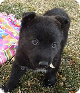 Shepherd (Unknown Type) Mix Puppy for Sale in Westminster, Colorado - Bubbles