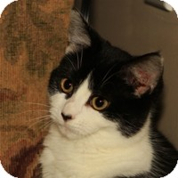 Domestic Shorthair Kitten for Sale in Albany, New York - Addison