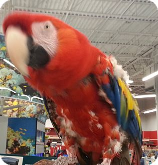 Macaw for adoption in Shawnee Mission, Kansas - Happy