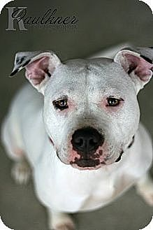 American Pit Bull Terrier/American Staffordshire Terrier Mix Dog for adption in Newark, Delaware - Felicity