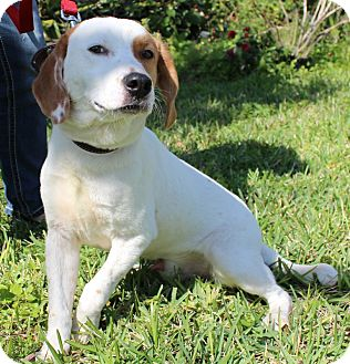 Hound (Unknown Type)/Springer Spaniel Mix Dog for Sale in Oldsmar, Florida - BUCKEYE