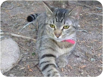Domestic Shorthair Cat for adoption in Pittsboro, North Carolina - Tabitha