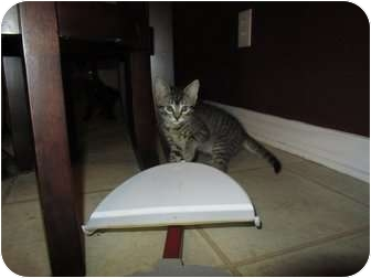 Domestic Shorthair Kitten for Sale in Mobile, Alabama - Juliet