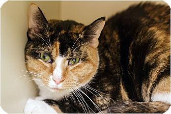 Calico Cat for Sale in Salem, New Hampshire - Patches