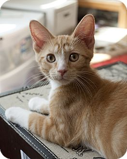 Domestic Shorthair Kitten for adoption in Chicago, Illinois - Oliver