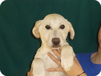 Golden Retriever/Labrador Retriever Mix Puppy for Sale in Oviedo, Florida - Cam