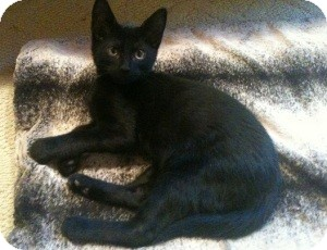 Bombay Kitten for Sale in Arlington, Texas - Gaspar