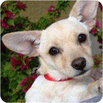 Dachshund/Chihuahua Mix Dog for adption in Gilbert, Arizona - Zippy