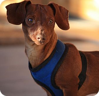 Dachshund Dog for Sale in Lake Havasu City, Arizona - Pixie