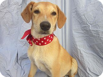 Labrador Retriever/Beagle Mix Puppy for Sale in Irvine, California - KIKO