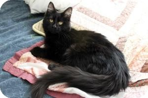 Domestic Longhair Kitten for Sale in Cleveland, Ohio - Juju