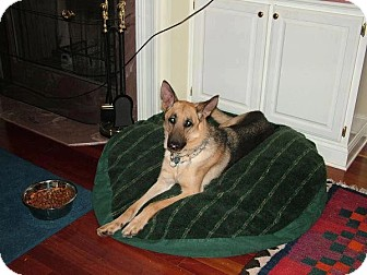 German Shepherd Dog Dog for Sale in Knoxville, Tennessee - Sam