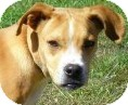 Terrier (Unknown Type, Medium)/Boxer Mix Dog for Sale in Lincolnton, North Carolina - Dusty