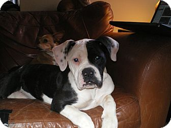 American Bulldog Puppy for Sale in Apex, North Carolina - Kelsey