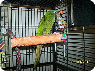 Conure for adoption in Lexington, Georgia - Beau