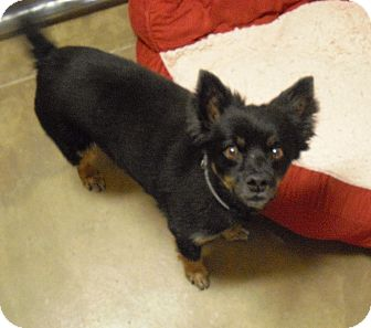 Pomeranian Mix Dog for Sale in Wickenburg, Arizona - Zek