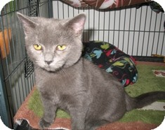 Domestic Shorthair Kitten for Sale in Shelton, Washington - Ula
