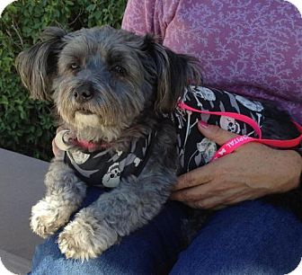 Yorkie, Yorkshire Terrier/Poodle (Miniature) Mix Dog for Sale in Chandler, Arizona - Elvis