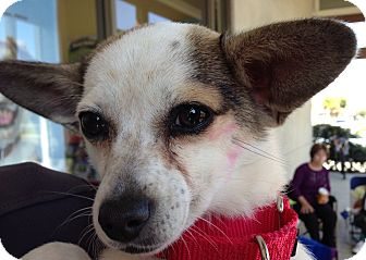Chihuahua/Rat Terrier Mix Dog for adption in Long Beach, California - Stella