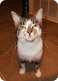 Domestic Shorthair Cat for adoption in Simi Valley, California - Rose