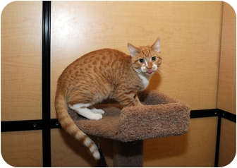 Domestic Shorthair Cat for adoption in Farmingdale, New York - Zippy