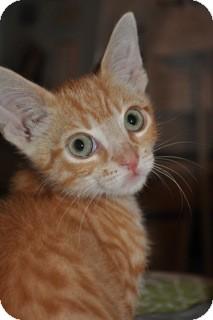 Domestic Shorthair Kitten for Sale in La Canada Flintridge, California - Champ