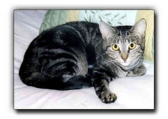 Domestic Shorthair Cat for Sale in Howell, Michigan - E.J.