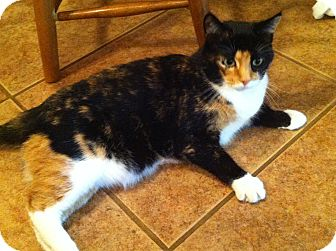 Domestic Shorthair Cat for Sale in Bentonville, Arkansas - Callie
