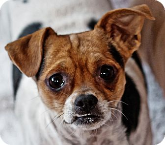 Chihuahua/Pug Mix Dog for adption in Phoenix, Arizona - Ziggy