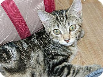 Bengal Kitten for adoption in Elizabeth City, North Carolina - Baby