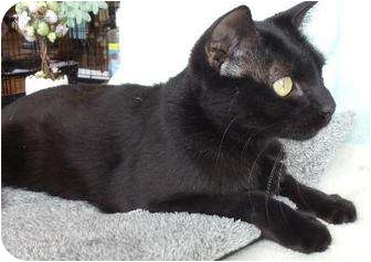 Domestic Shorthair Cat for adoption in Dallas, Texas - Mikey