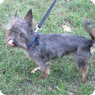Yorkie, Yorkshire Terrier/Cairn Terrier Mix Dog for Sale in Youngstown, Ohio - Rufus ~ Adoption Pending