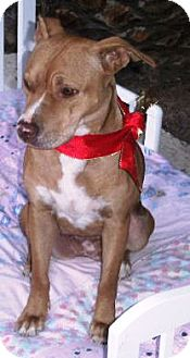 American Pit Bull Terrier Mix Dog for adption in Gilbert, Arizona - Cutie