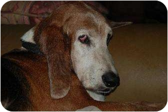 Basset Hound Dog for adption in Orlando, Florida - Lucas
