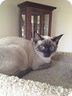 Siamese Cat for Sale in Laguna Woods, California - Purdy