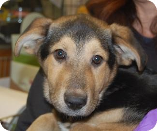 Shepherd (Unknown Type) Mix Puppy for Sale in Brooklyn, New York - Justin