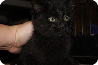 Domestic Shorthair Kitten for Sale in Chicago, Illinois - Ivy