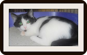 Domestic Shorthair Cat for adoption in Medford, Wisconsin - FLINCH