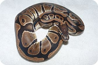 Snake for Sale in Richmond, British Columbia - Teal