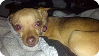 Chihuahua Mix Dog for Sale in Seattle, Washington - Sandy
