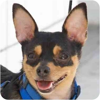 Beverly Hills, CA - Chihuahua/Miniature Pinscher Mix. Meet Stewart a ...