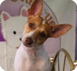 Rat Terrier/Fox Terrier (Smooth) Mix Dog for adption in Hialeah, Florida - Pluto