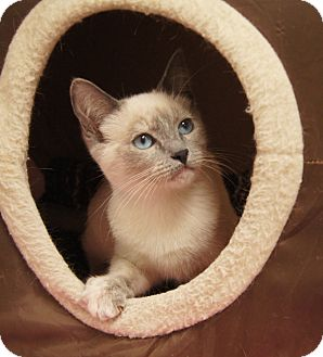 Siamese Kitten for Sale in Colorado Springs, Colorado - Rosalie