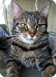 Domestic Mediumhair Cat for Sale in Alexandria, Virginia - Gilly